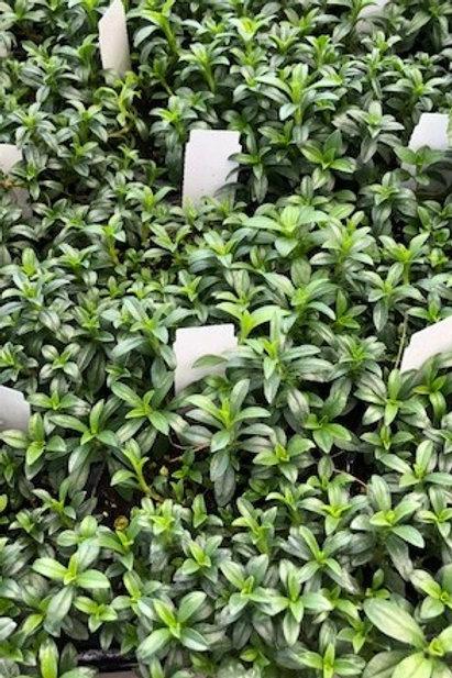 Kräuter-, Gewürzpflanze Bergbohnenkraut   Satureja montana T: 11cm