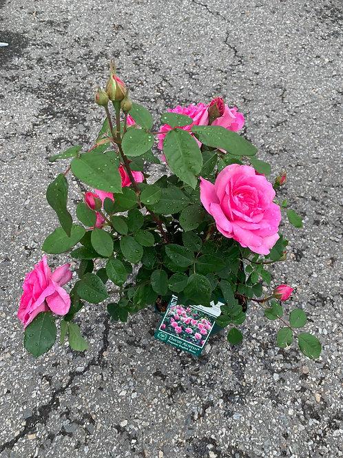 GERTRUDE JEKYLL David Austin Fragrant English Rose