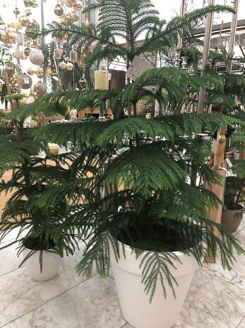 Araucaria Zimmertanne, verschiedene Größen ab