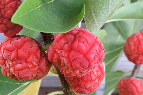 CUDRANIA Che-Frucht