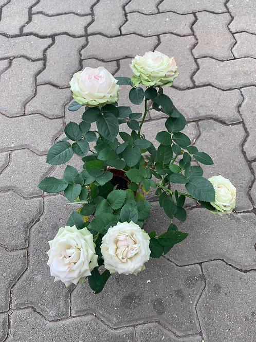 Rose 11er Topf