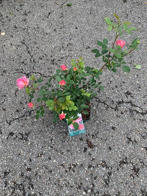BOSCOBEL David Austin Fragrant English Rose