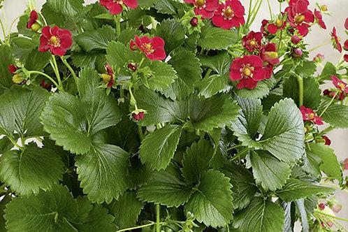 Erdbeeren immertragend im 9cm Topf Balkonerdbeere RUBY ANN