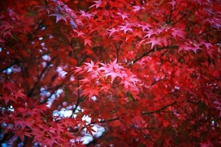 japanese_maple.jpg