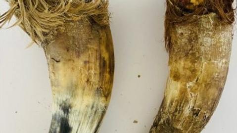 Anco Cow Horns