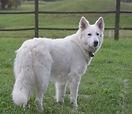 White Shepherd, Berger Blanc Suisse, White Swiss