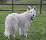 White Shepherd, Berger Blanc Suisse, White Swiss