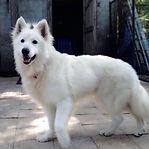 Berger Blanc Suisse Shepherd, white shepherd in Florida at Vom Hundhaus German shepherds.  Berger Blanc Suisse Shepherd in Florida. Whlte Long Cat rare shepherds. See us at Vom Hundhaus German Shepherds in Florida 727-687-5338. gsd@vomhundhaus.com or www.b
