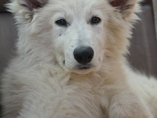 Why is the Berger Blanc Suisse Breed Right for my Family?