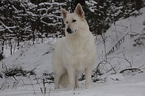 Mashka our new FCI registered Import Berger Blanc Suisse - White Swiss Vom Hundhaus Shepherds! www.bergerblancsuisseshepherd.com
