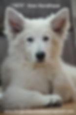 white shepherd, berger blanc suisse, white swiss shepherd