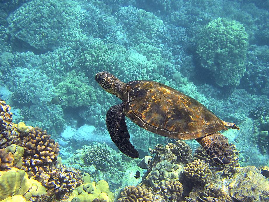 sea-turtle-547162.jpg