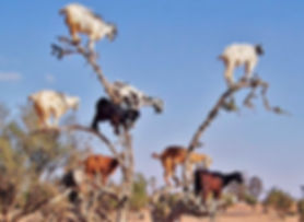 GHP Goat Tree.jpg