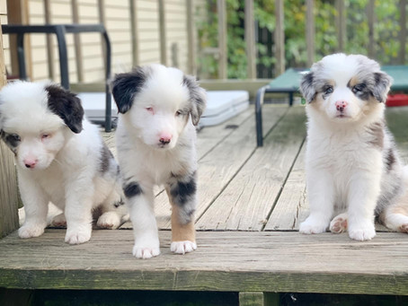 Where to Adopt a Double Merle Dog
