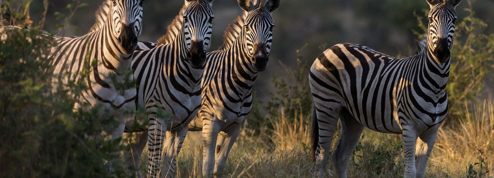 zebras-46823-1920x1080.jpg