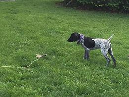 German Shorthair Puppy training
