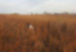 German Shorthair