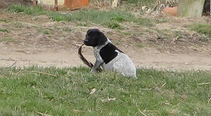 German Shorthair Puppy for sale