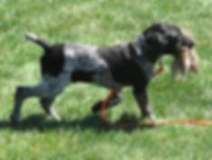 German Shorthair Pointer Puppy training