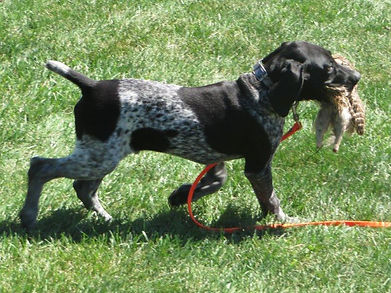 German Shorthair Pointer Puppy training