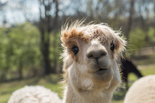 1lb beige suri alpaca fiber
