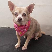 A Chihuahua bringing out the Big Guns by