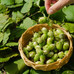 Germany Turkish hazelnut exporters' favorite, notable rise in sales to China this season.