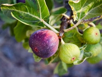 Figs prices hit peak