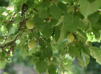 The Quality of the New Crop of Apricots is Better Than Expected!