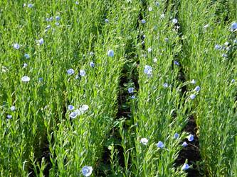 Organic Flax Seed Project