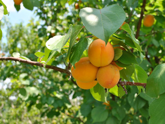 NO QUANTITY DECREASE ON APRICOTS EXPECTED