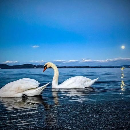 Ο κύκνος, το πτηνό της αγάπης