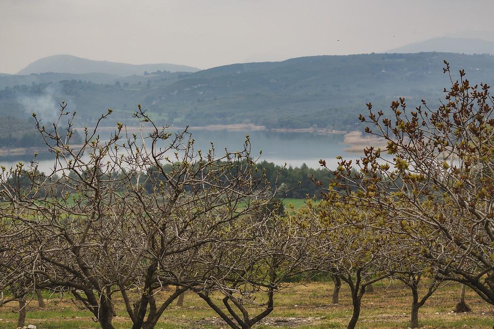 Φυστικόδεντρα και στο βάθος η Λίμνη Μαραθώνα   Φωτ.: Χάρης Φέτερης