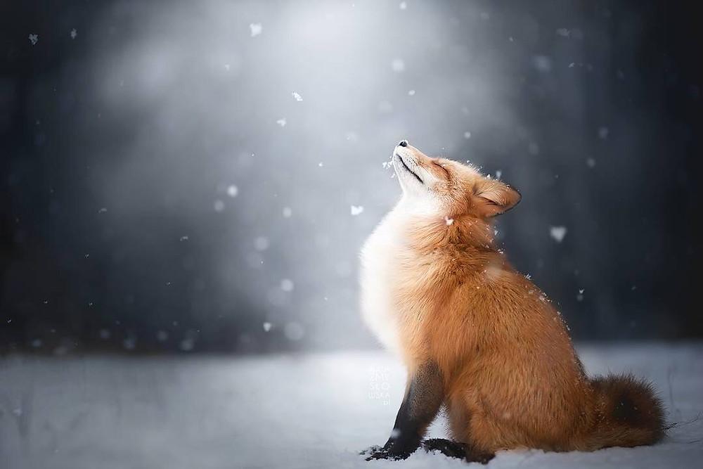 Η κόκκινη αλεπού   Alicja Zmysłowska Photography