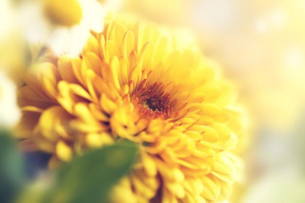 χρυσάνθεμο μας διευκρίνισαν ότι είναι ένα αποκλειστικά φθινοπωρινό λουλούδι με πλούσια ανθοφορία τους μήνες Οκτώβριο και Νοέμβριο.