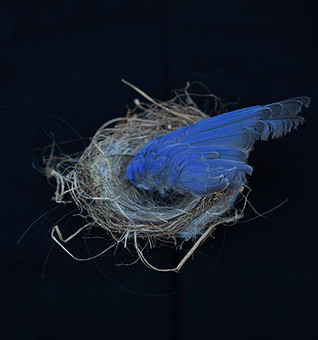 blue bird wing nest-Susan Friedman.jpg