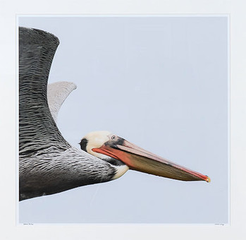 Brown Pelican-David Wong