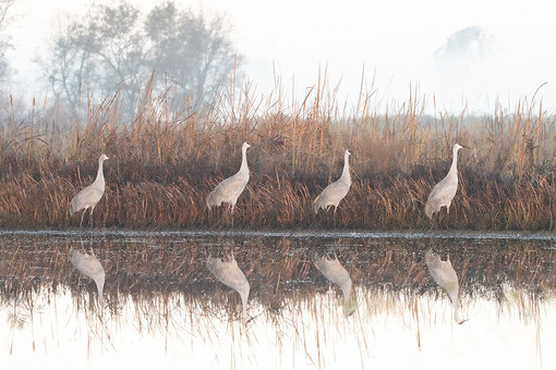 Sandhill Crane Morning Light-David Wong