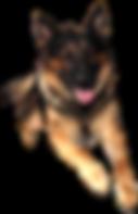 jumping_german_shepherd_transparent_back