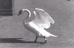 Swan Sebastian Hunter