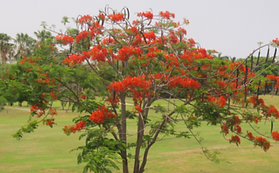 flamboyant-tree