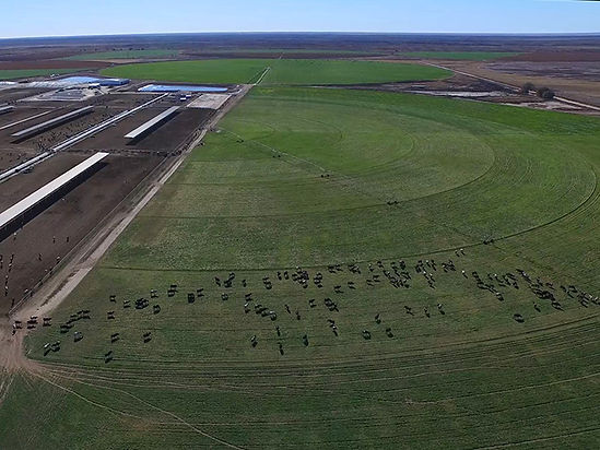 Ariel photograph of dairy cows at Tejas Dunes Dairy in Muleshoe, Texas