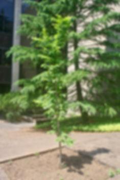 PatioTrees_01.jpg