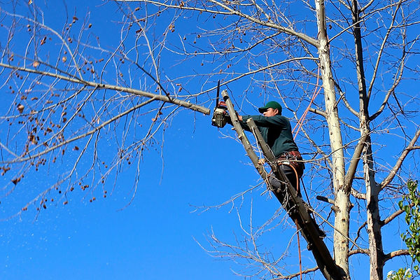 tree trimming,cutting, branches, arborist, chainsaw, climb