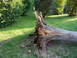fallen tree, roots, uprooted, storm, broken