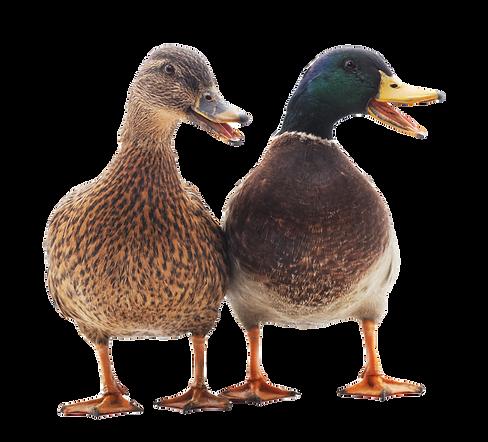 Large wild ducks on a white background_e