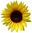 sunflower-cutout-floweronly-trans- copy.