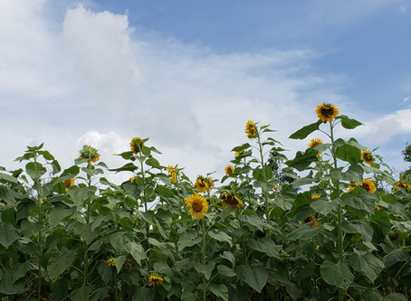 Follow the Sunflower: Part Two - Follow Your Dreams