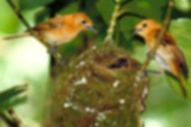 Nesting pair of kakerori