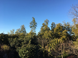 View of trees from backyard